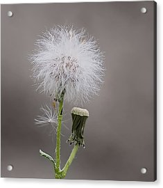 Acrylic Print featuring the photograph Dandelion Seed Head by Rona Black