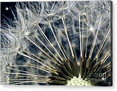Dandelion Seed Head Acrylic Print by Ryan Kelly