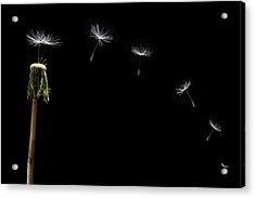 Dandelion Seeds Float Away Acrylic Print by Steve Gadomski