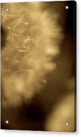 Dandelion-sepia Acrylic Print by Sue OConnor