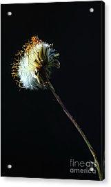 Dandelion Silhouette Acrylic Print by Edward Sobuta