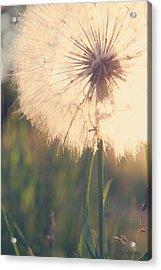 Dandelion Sunshine Acrylic Print