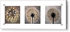 Dandelion Triptych Acrylic Print