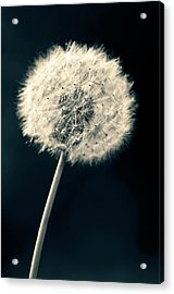 Acrylic Print featuring the photograph Dandelion by Ulrich Schade