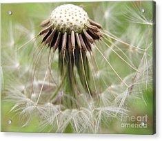 Dandelion Wish 8 Acrylic Print