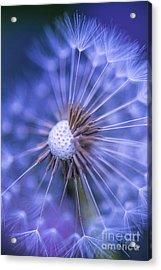 Dandelion Wish Acrylic Print by Alana Ranney