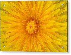 Dandelion8 Acrylic Print