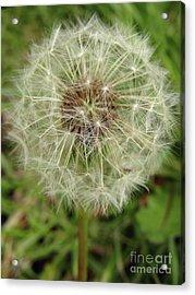 Dandelion  Wish Acrylic Print