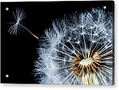 Acrylic Print featuring the pyrography Dandy by Bess Hamiti