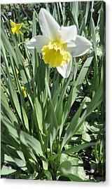 Dandy Daffodils Acrylic Print by Brynn Ditsche