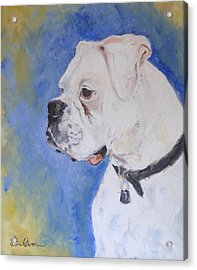 Danger The White Boxer Acrylic Print by Veronica Coulston