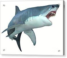 Dangerous Great White Shark Acrylic Print