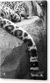 Dangling And Dozing In Black And White Acrylic Print