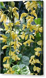 Dangling Yellow Flowers Acrylic Print by Tina McKay-Brown