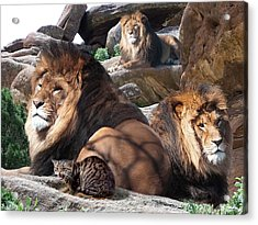 Daniel In The Lion Acrylic Print by Bill Stephens