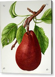 Acrylic Print featuring the painting D'anjou Pear by Margit Sampogna