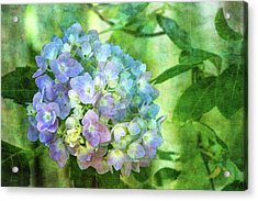 Dappled Light Hydrangea 2300 Idp_2 Acrylic Print