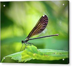 Acrylic Print featuring the photograph Dark Damsel by Bill Pevlor