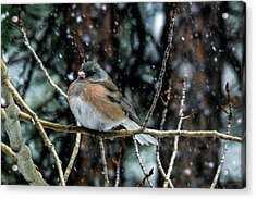 Dark-eyed Junco During A Snowfall Acrylic Print