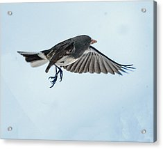 Dark-eyed Junco Flying Acrylic Print