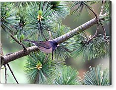 Dark-eyed Junco On A Pine Tree Acrylic Print by David Gn