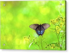 Acrylic Print featuring the photograph Dark Morph Female Tiger Swallowtail Butterfly by Lori Coleman