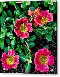 Dark Pink Purselane Flowers Acrylic Print