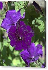 Dark Purple Petunias Acrylic Print