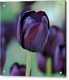 Dark Purple Tulip Acrylic Print by Sandy Keeton