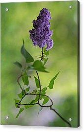 Dark Violet Lilac Acrylic Print