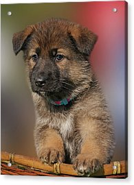 Acrylic Print featuring the photograph Darling Puppy by Sandy Keeton
