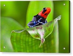 Dart Frog Acrylic Print by Dirk Ercken