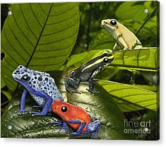 Dart-poison Frogs - Poison-dart Frogs Dendrobatidae - Baumsteiger Frosch - Pijlgifkikkers Acrylic Print by Urft Valley Art