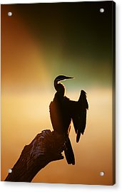 Darter Bird With Misty Sunrise Acrylic Print by Johan Swanepoel