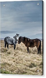 Dartmoor Ponies On Dartmoor Acrylic Print