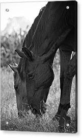 Das Pferde Acrylic Print