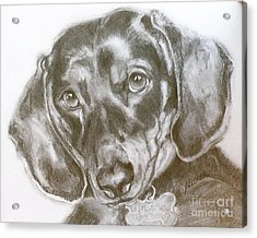 Daschund Pencil Drawing Acrylic Print