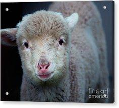 Dave The Sheep  Acrylic Print