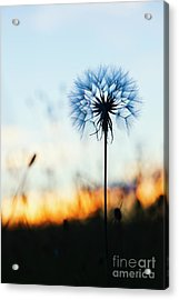 Dawn Seedhead Acrylic Print by Tim Gainey