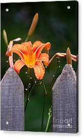 Day Lilly Fenced In Acrylic Print by David Lane