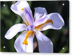 Day Lily 3 Acrylic Print by M Diane Bonaparte