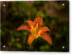 Day Lily Acrylic Print by Michael Whitaker