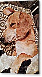Daydreaming Dachshund Doggie In/ Puppy Slumber Acrylic Print by PrettTea Art Gallery By Teaya Simms