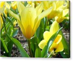 Daydreaming Of Yellow Tulips Acrylic Print