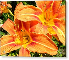 Daylillies In Bloom Acrylic Print by Margaret G Calenda