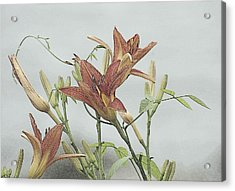 Daylilly Dreaming Acrylic Print