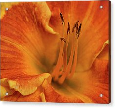 Acrylic Print featuring the photograph Daylily Close-up by Sandy Keeton