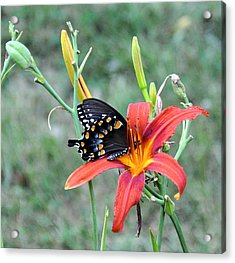 Daylily Delight 2 Acrylic Print by Jan Amiss Photography
