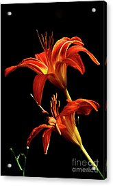 Daylily Double Acrylic Print by Douglas Stucky