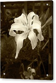 Acrylic Print featuring the photograph Daylily by John Hix